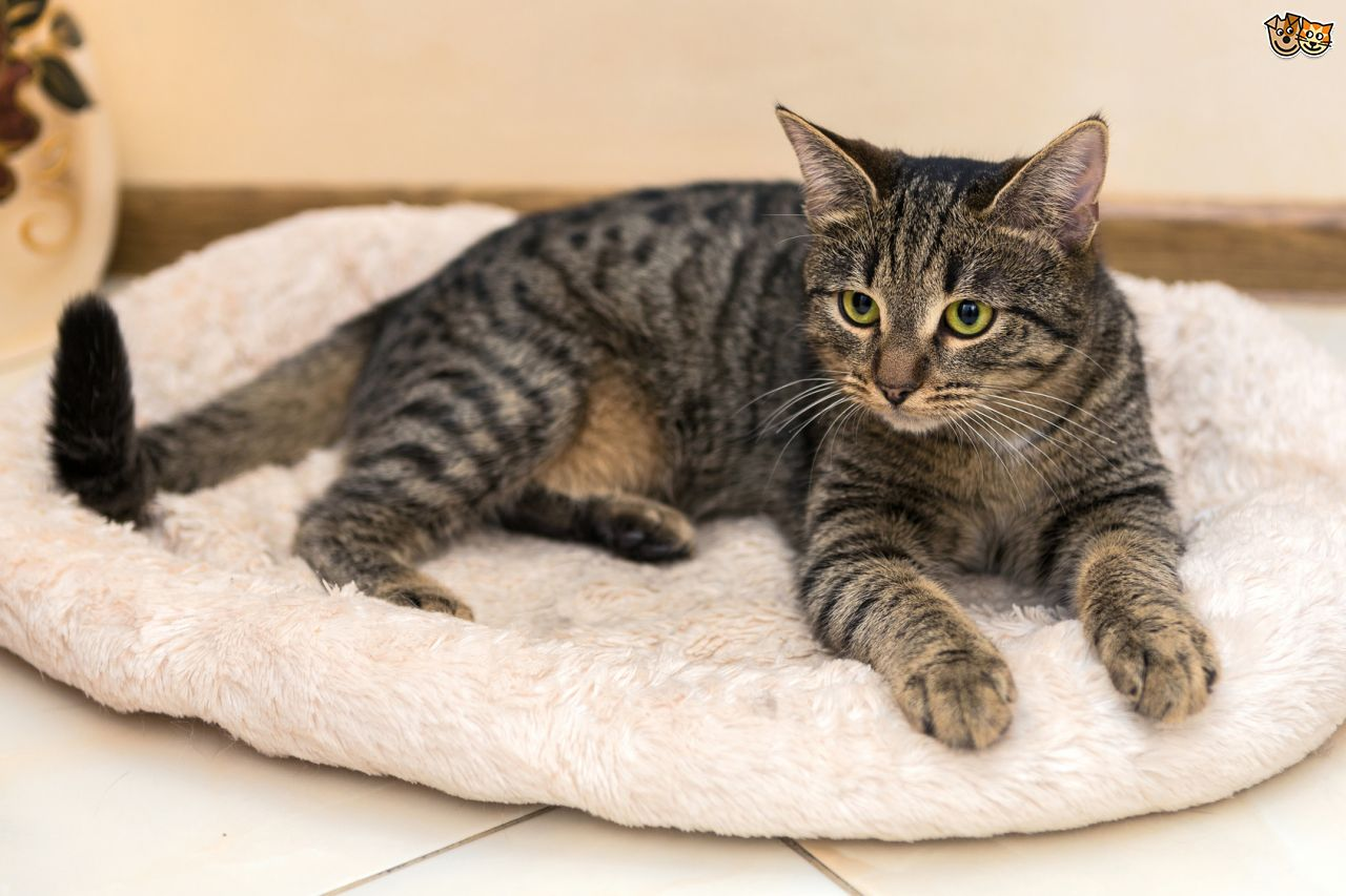 Black and tan tabby cat